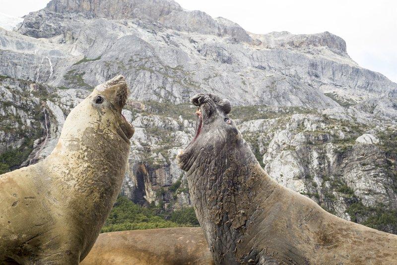 Ein südlicher See-Elefant brüllt eine Herausforderung zu einem Rivalen in Südgeorgien. – Bild: Photograph copyright Justin Hofman