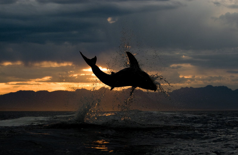 Great white shark, breaching during sunset in South Africa. – Bild: Copyright © 2017 Discovery Communications, Inc.