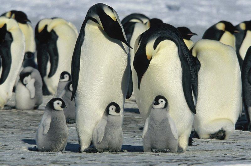 Wenn die Weibchen zwei Monate später zum Nistplatz zurückkehren, kümmern sie sich um die hungrigen Küken. – Bild: MDR/Studiocanal