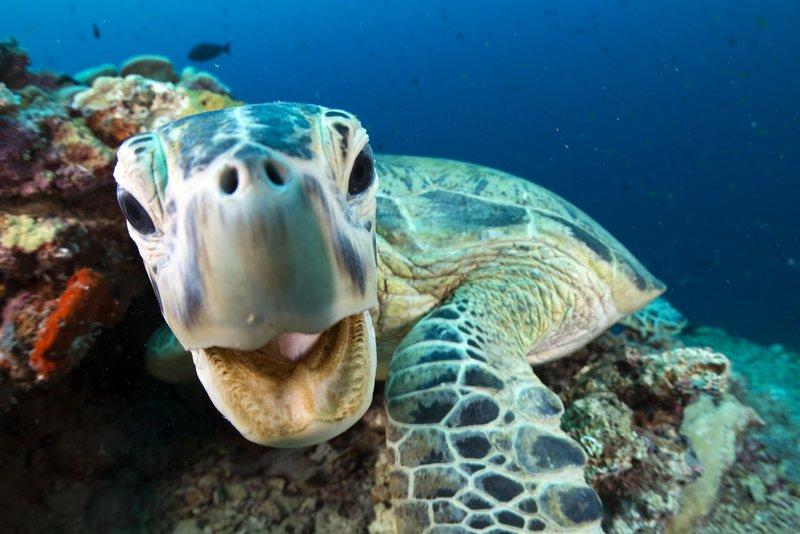 """Eine Grüne Meeresschildkröte in Sipadan, Borneo, Malaysia. Die vom Aussterben bedrohten """"Grünen Meeresschildkröten"""" kommen in die tropischen Gewässer der Insel Sipadan um sich zu ernähren. Als Erwachsene ist die grüne Schildkröte der einzige strenge Pflanzenfresser aller Meeresschildkröten. Es hat feine Verzahnung entlang seinem Kiefer, um Algen und Seegras zu essen zu zerreißen. – Bild: Photograph copyright Jason Isley"""