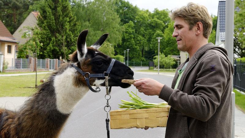 Fritz Fuchs (Guido Hammesfahr) steht mit einem Lama auf der Straße und hält einen Korb mit Futter in der Hand. – Bild: ZDF/Antje Dittmann