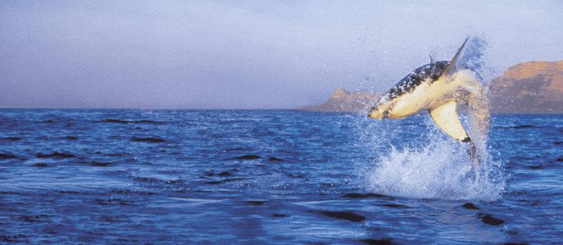 Air Jaws: Weiße Haie vor Neuseeland (Staffel 31, Folge 12) – Bild: Animal Planet