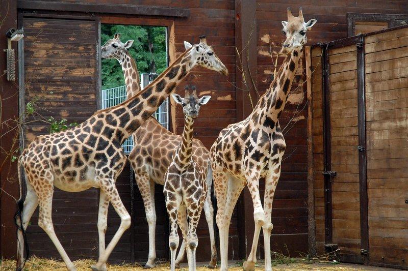 """ARD TIERÄRZTIN DR. MERTENS IV. Staffel mit 13 neuen Folgen, Folge 47, """"Zwischen allen Stühlen"""", am Dienstag (18.06.13) um 20.15 Uhr im Ersten. Giraffen im Leipziger Zoo – Bild: ARD/Christa Köfer"""