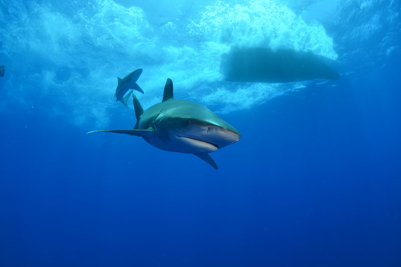 Oceanic White Tip Shark swimming under a boat. – Bild: Copyright: Discovery Communications, Inc. For Show Promotion Only