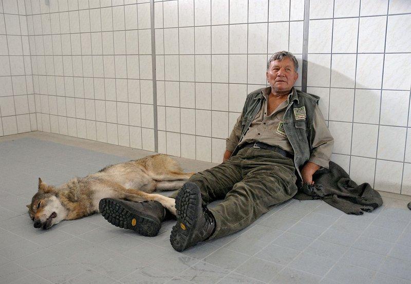 Tierpfleger Helmut Kowollik (Klaus Manchen) nimmt Abschied von dem sterbenden Wolf Lobo. – Bild: BR/ARD/Christa Köfer