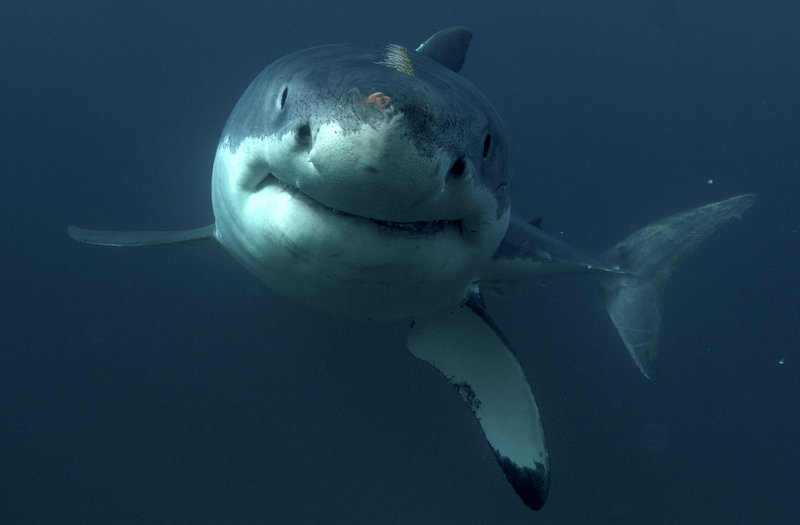 A great white shark is swimming. – Bild: Discovery Communications