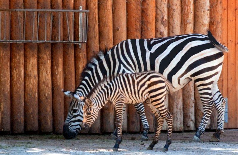 """Das Zebrababy """"William"""" mit seiner Mutter im Tiergarten Straubing. – Bild: BR/Renate Rauh"""