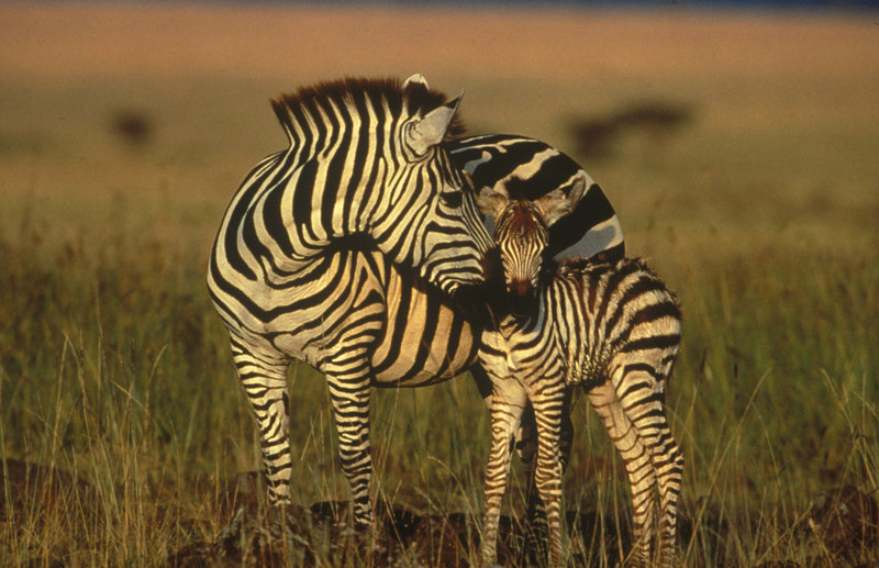 Zebras. – Bild: Animal Planet