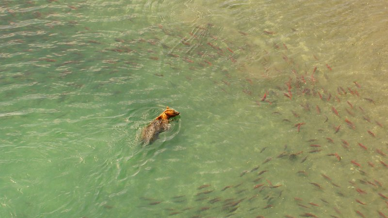 Braunbär beim Lachsfang. – Bild: ZDF und Peter Thompson (c) Colourfield.