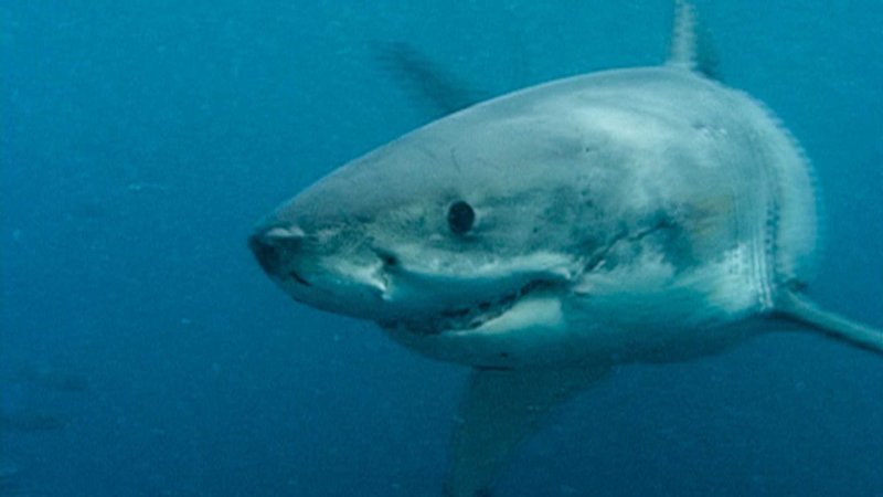 Großer weißer Hai. – Bild: Phoenix