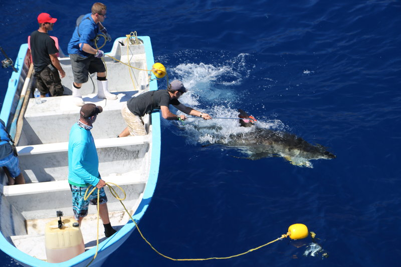 Yannis Papastamatiou tagging shark; Guadalupe Island, Mexico. – Bild: Discovery Channel / Discovery Communications