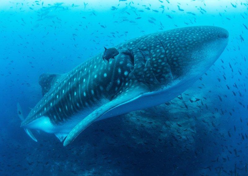 Der Walhai ist zwar der größte Fisch in den Meeren, er ernährt sich aber von den kleinsten Lebewesen im Wasser, dem Plankton. – Bild: NDR/WDR/BBC NHU/Simon Pierce