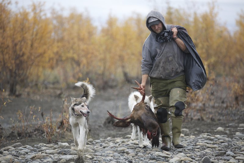 Tyler carrying a moose head alongside his dogs. – Bild: Discovery Communications