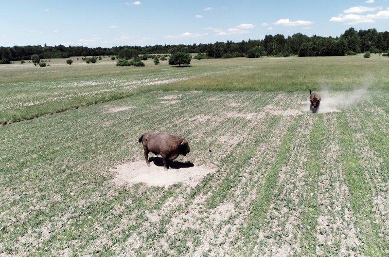 Die Entlassung der Bisons in die Wildnis der Südkarpaten ist das größte Wiederansiedlungsprogramm in Europa. Ziel ist es, eine lebensfähige Bisonpopulation in freier Wildbahn aufzubauen. – Bild: ARTE France / © ARTE France/Bonne Pioche Télévision