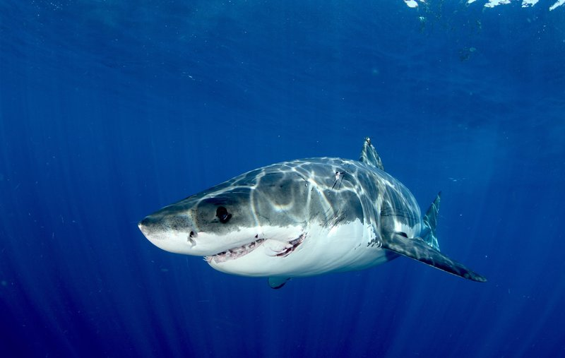 Great white shark. Guadalupe Island. – Bild: Discovery Communications