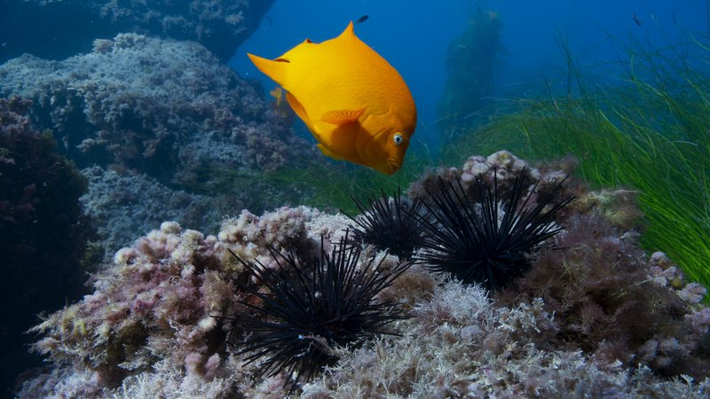 Picture shows: The Garibaldi fish carefully removes a sea urchin from its territory. Left alone, the urchin would be a threat to the garibaldi's food supply. – Bild: Screen grab from BBC footage / Screengrab taken from BBC footag / Copyright BBC 2017 / BBC