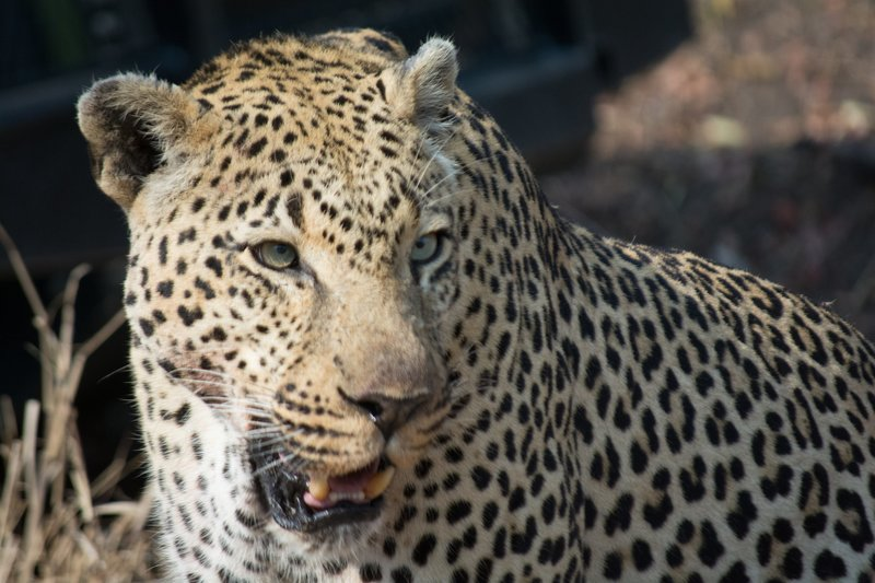 MPUMALANGA, SOUTH AFRICA - Close up of a leopard at the Mala Mala Game Reserve.??(photo credit: National Geographic Channels) – Bild: National Geographic Channels