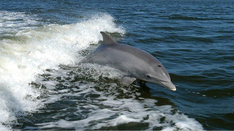 Delfin – Bild: https://pixabay.com/CC0 Public Domain