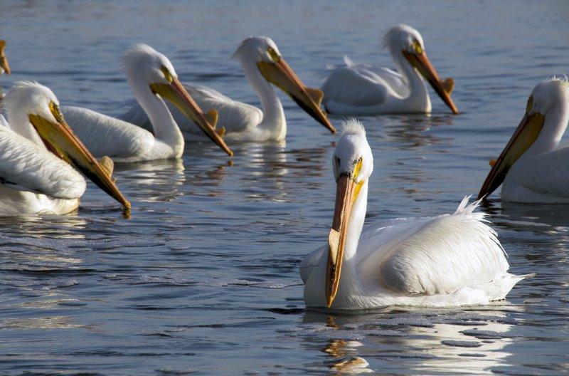 Während der Brutzeit nehmen Gesicht und Gefieder des Pelikans leuchtende Farben an, mit denen er die Weibchen anlocken kann. – Bild: arte