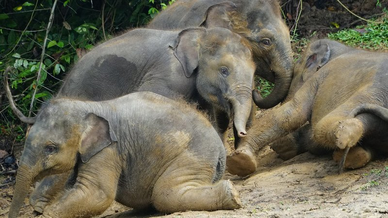 Geheimnisse Asiens - Borneo Borneos wilde Elefanten Herumtollende Jung-Elefanten – Bild: SRF/Autentic