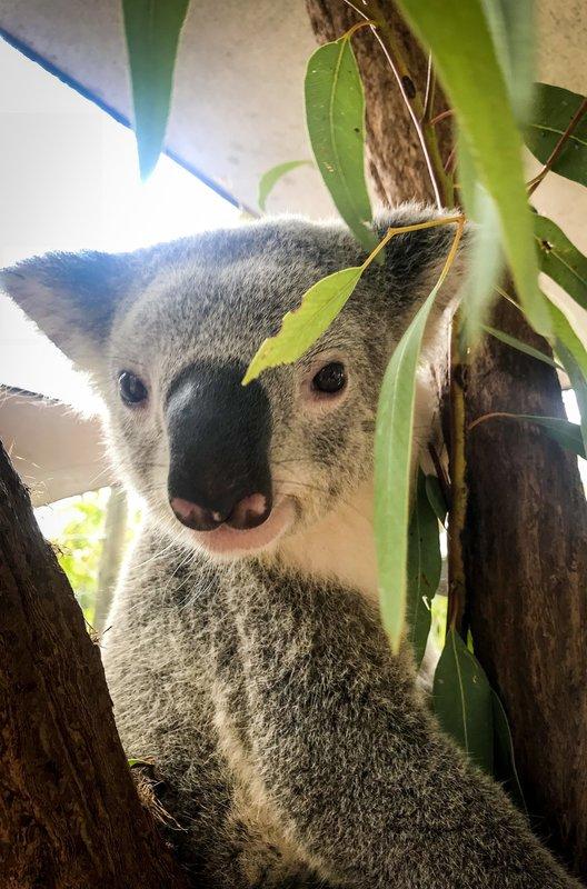 Ein Koala sitzt auf einem Baum in Townsville, Australien. – Bild: BR/Marie-Therese Rompf/Bewegte Zeiten GmbH
