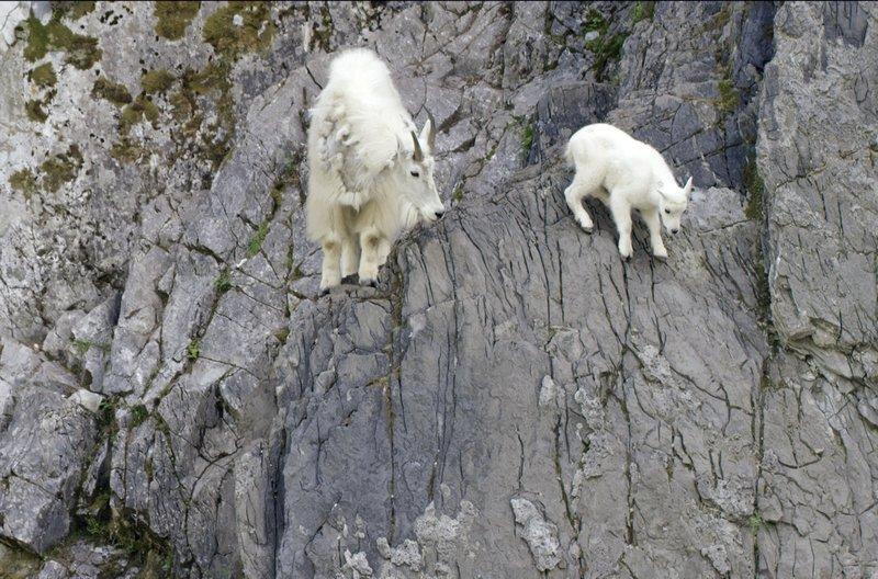 Im Sommer kommen die Bergziegen aus den Bergen und klettern über die steilen Felsen hinunter ins Tal, um dort von dem mineralhaltigen Wasser zu trinken. Für die Ziegenkitze ist das die erste Gelegenheit, ihre Geschicklichkeit auf die Probe zu stellen. – Bild: arte