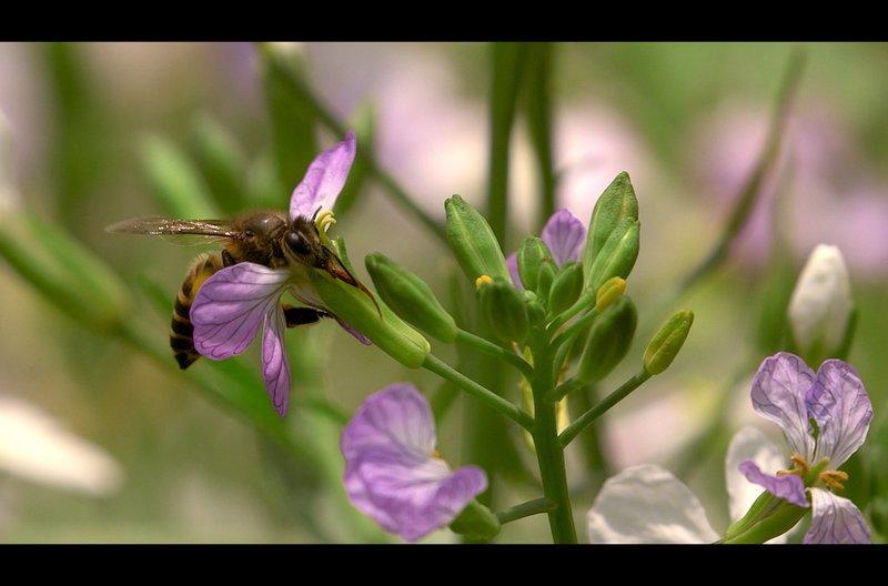Die Riesenhonigbiene Apis dorsata kommt jedes Jahr für vier Monate nach Nilgiris in Indien. So lange haben die Honigjäger Zeit, um das flüssige Gold einzuholen. – Bild: arte