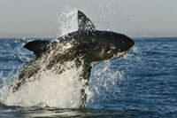 Great White Shark – Schwimmen mit dem Killer – Bild: ProSieben MAXX
