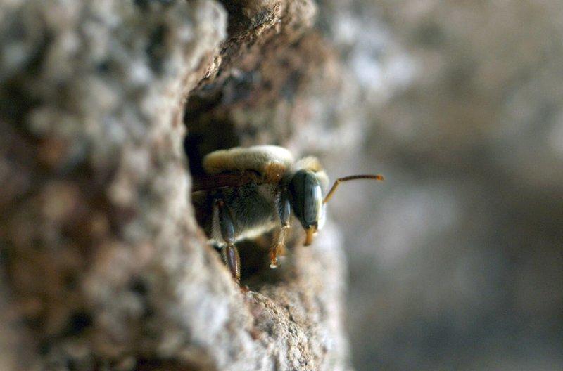 Die Melipona-Biene ist stachellos und in Südamerika zu Hause. Sie wurde zur Zeit der Maya verehrt, doch wird sie heute nur noch selten für ihren Honig gehalten, da sie sehr viel weniger produziert als ihre Verwandte, die Europäische Honigbiene. – Bild: arte
