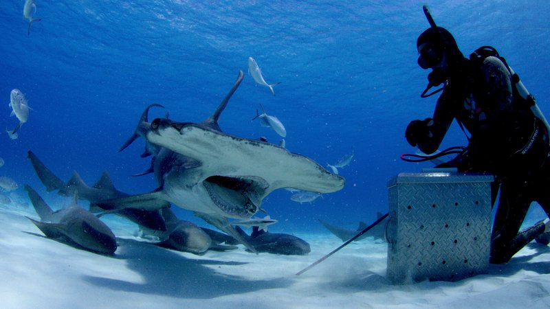 Great Hammerheads return to Bimini every year to over winter here. SharkCam could reveal what they're feeding on and what they're doing here. – Bild: Discovery Channel / Discovery Communications