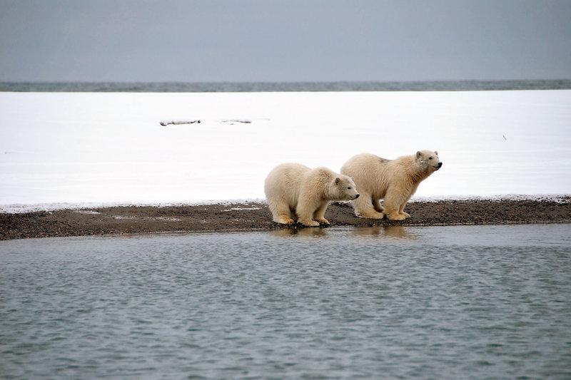 Polarbären in Alaska warten auf das Packeis. – Bild: ZDF / © Christopher Gerisch