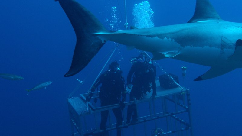 Back end of shark passes past cage as divers are on top of cage. – Bild: Discovery Channel / Discovery Communications