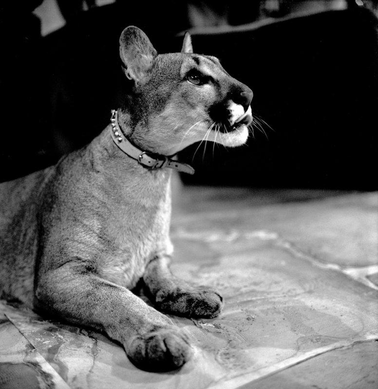 Puma. – Bild: ORF