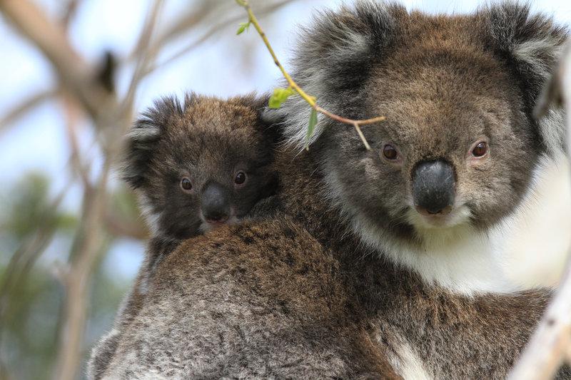 """Die ersten Lebensmonate verbringen Koalababys gut geschützt im Beutel der Mutter - erst dann beginnen sie, die Welt zu entdecken - anfangs oft auf dem Rücken der Mutter.Zur ARTE-Sendung Australien: In den WŠldern der Koalas 6: Die ersten Lebensmonate verbringen Koalababys gut geschźtzt im Beutel der Mutter Đ erst dann beginnen sie, die Welt zu entdecken Đ anfangs oft auf dem Rźcken der Mutter. © NDR Naturfilm doclights/Grospitz & Westphalen Foto: NDR Honorarfreie Verwendung nur im Zusammenhang mit genannter Sendung und bei folgender Nennung """"Bild: Sendeanstalt/Copyright"""". Andere Verwendungen nur nach vorheriger Absprache: ARTE-Bildredaktion, Silke Wšlk Tel.: +33 3 881 422 25, E-Mail: bildredaktion@arte.tvZur ARTE-Sendung Australien: In den Wäldern der Koalas 6: Die ersten Lebensmonate verbringen Koalababys gut geschützt im Beutel der Mutter – erst dann beginnen sie, die Welt zu entdecken – anfangs oft auf dem Rücken der Mutter. © NDR Naturfilm doclights/Grospitz & Westphalen Foto: NDR Honorarfreie Verwendung nur im Zusammenhang mit genannter Sendung und bei folgender Nennung """"Bild: Sendeanstalt/Copyright"""". Andere Verwendungen nur nach vorheriger Absprache: ARTE-Bildredaktion, Silke Wölk Tel.: +33 3 881 422 25, E-Mail: bildredaktion@arte.tv – Bild: NDR Naturfilm doclights/Grospitz & Westphalen / © NDR Naturfilm doclights/Grospitz & Westphalen"""