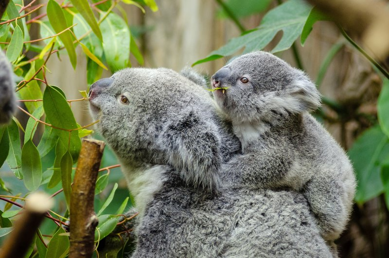Female koala and her baby. – Bild: Creative Commons Free for commercial use No attribution required