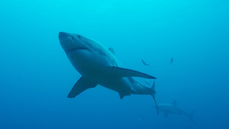 Two great white sharks swim underwater. – Bild: Discovery Communications