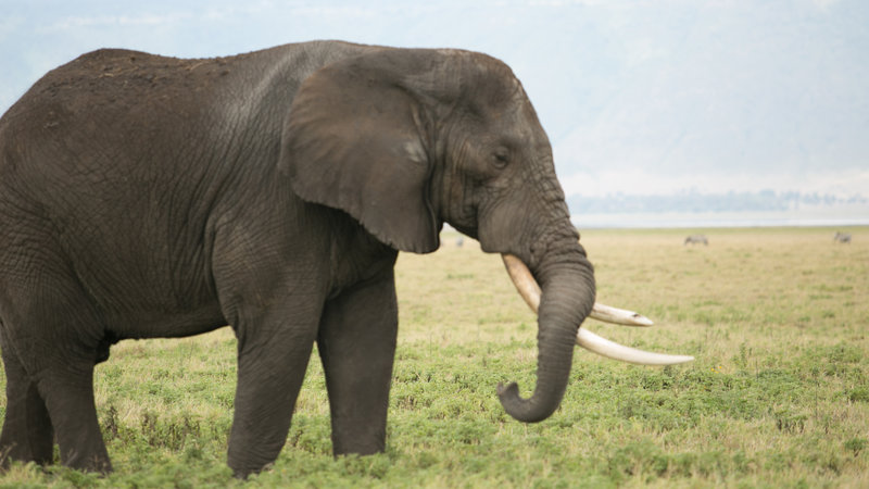 An elephant in Tanzania. – Bild: Todd Stanley / Animal Planet / Photobank 34441_ep102_010.jpg / Discovery Communications