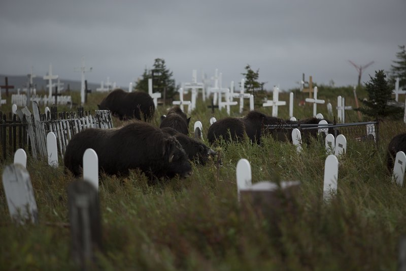 Bison grazing in a grave yard. – Bild: Daniel Herman / Discovery Channel / Discovery Communications