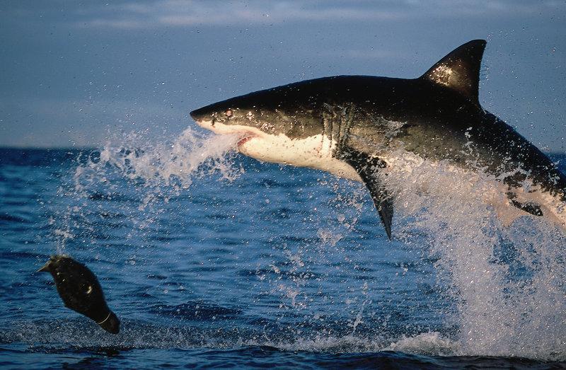 der Hai – Bild: Discovery Channel