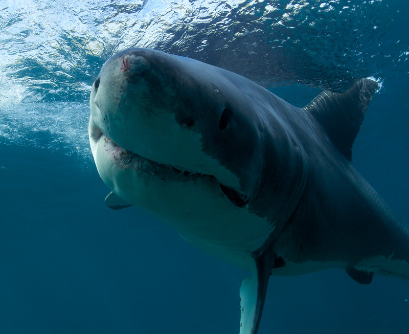 Great White Shark underwater. Slash Attacks! New Zealand. – Bild: Copyright: Discovery Communications, Inc. For Show Promotion Only