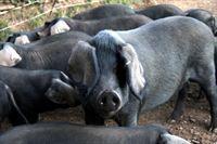 Black Pigs, bekannte schwarze Schweinerasse in Cornwall, England. – Bild: ORF III