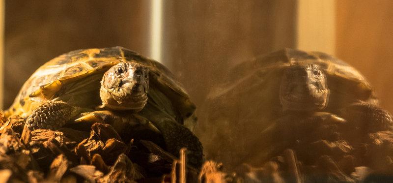 Sherlocks Schildkröte Clyde ... – Bild: Puls 4