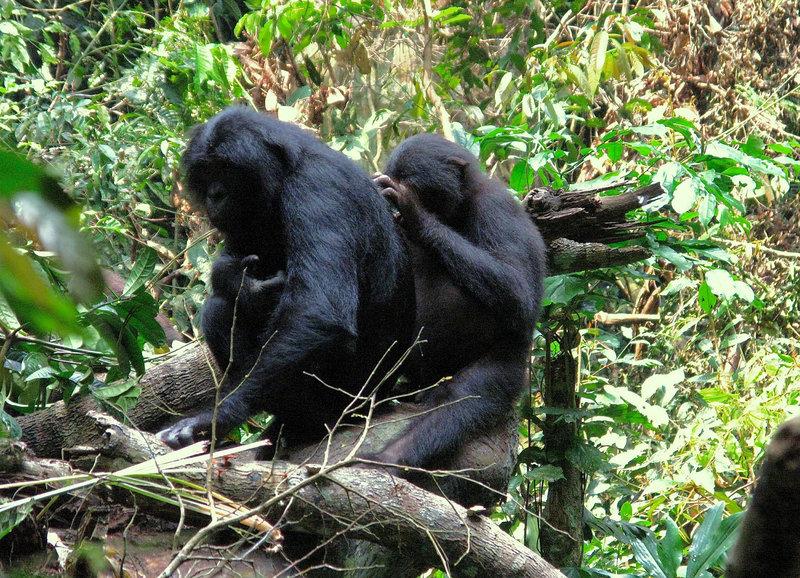 Bonobos bei der Fellpflege – Bild: SRF/ZDF