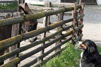 Immer mit dem Kopf durch den Zaun!? KEKS weiß nicht so recht, was er von der Idee von Ede Esel halten soll. – © ZDF/Zia Ziarno