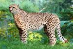 Ein Gepard auf der Pirsch (Staffel 2, Folge 16) – © Das Erste