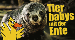 Tierbabys mit der Ente – Bild: WDR/BBC/Shutterstock/Shaun Jeffers